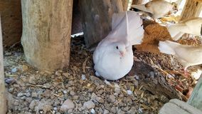 Dove. A withe dove with an egg Royalty Free Stock Photos