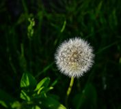 Withe downy dandelion flowers. At summer garden in Hirosaki, Japan Stock Photo