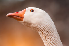 Withe goose. Particular of a withe goose stock image