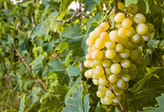 Withe grapes Royalty Free Stock Photo