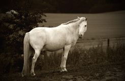 WITHE HORSE Stock Images