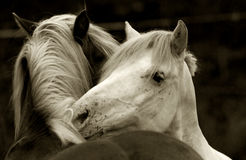WITHE HORSE Stock Image