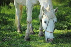 Withe horse Stock Photography