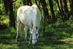 Withe horse Royalty Free Stock Images
