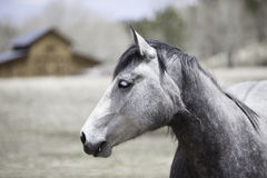 Withe horse Royalty Free Stock Image