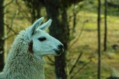 Withe llama Royalty Free Stock Image