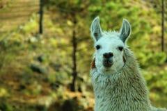 Withe llama Stock Image