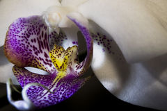 Withe Orchid. An orchid-colored wonderful shot with a special play of  light Stock Image