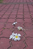 Withe Plumeria flowers on public roads Royalty Free Stock Image