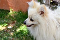 Withe Pomeranian Royalty Free Stock Image