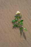 Withe rose alone on the beach. Withe rose on the beach Royalty Free Stock Images