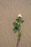 Withe rose alone on the beach Stock Image