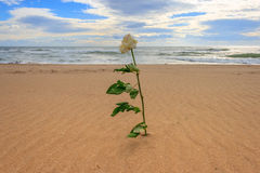 Withe rose alone on the beach. Rose alone on the beach in a cloudy day Royalty Free Stock Images