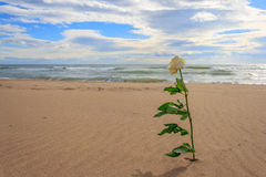 Withe rose alone on the beach. Rose alone on the beach in a cloudy day Royalty Free Stock Photos