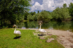 Withe swans with puppies Royalty Free Stock Photos