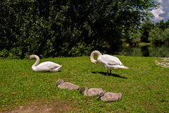 Withe swans with puppies Royalty Free Stock Photography