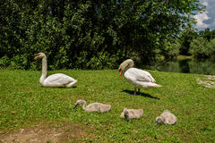 Withe swans with puppies Royalty Free Stock Image