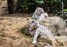 White tiger. Two white tigers in wild life zoo Royalty Free Stock Image