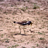 Withecrowned Plover Royalty Free Stock Photography