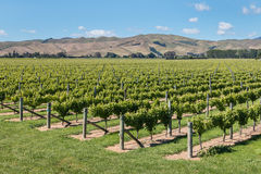 Wither Hills vineyards in Marlborough Region, New Zealand Royalty Free Stock Photo