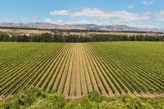 Wither Hills vineyards Royalty Free Stock Images