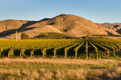 Wither Hills vineyards at sunset. Wither Hills vineyards in New Zealand at sunset royalty free stock image