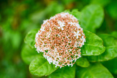 Wither ixora flower. Close up wither white ixora on green background stock photography