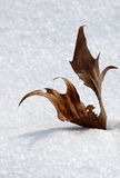 Wither leaf on the snow Royalty Free Stock Image
