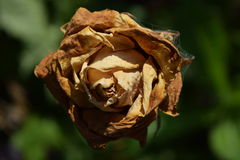 Wither. Pictured dry wrinkled rose sunlit Royalty Free Stock Photography