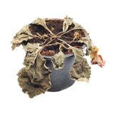 Wither plant Royalty Free Stock Photography