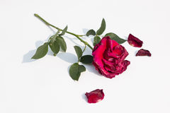 Wither red rose royalty free stock image