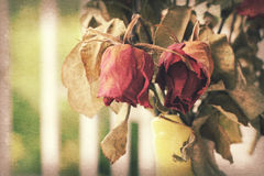 Wither rose, died rose. In vase Stock Photos