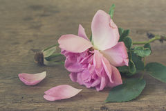 Wither rose on old Royalty Free Stock Photography