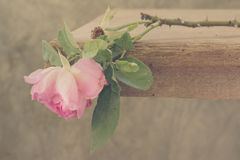 Wither rose Royalty Free Stock Photo