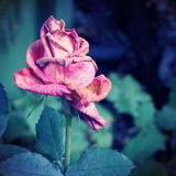 Wither Rose Stock Images