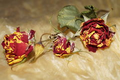 Wither roses on yellow silk Stock Images