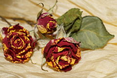 Wither roses on yellow silk Stock Photos