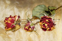 Wither roses on yellow silk Stock Image