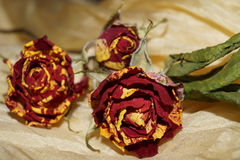 Wither roses on yellow silk Stock Photography