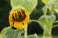 Wither sunflower. Royalty Free Stock Photos