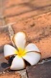 Wither White Frangipani Royalty Free Stock Photo
