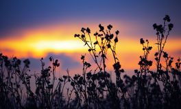 Withered agrimony at sunset Stock Images