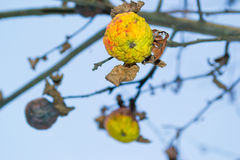 Withered apple. Autumn apples on the branches of the tree withered Royalty Free Stock Images