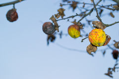 Withered apple. Autumn apples on the branches of the tree withered stock images