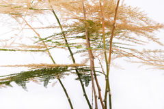 Withered asparagus fern Stock Photography