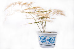 Withered asparagus fern Stock Photo