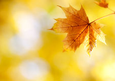 Withered autumn maple leaf in sunlight Stock Photo