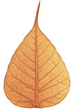 Withered Bodhi Leaf Royalty Free Stock Images