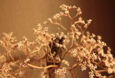 Withered bouquet with small white dry flowers and branches against beige wall close up. Withering and fading concept. Vintage retro mood background Royalty Free Stock Photography