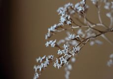 Withered bouquet with small white dry flowers and branches in glass vase close up. Royalty Free Stock Photo